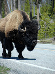 Big Buffalo on the road
