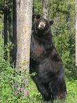 Black Bear captive near Corum,Montana