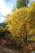 Fall Color Trees Two Medicine Glacier NP