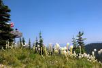Bear Grass on Big Mountain