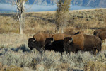 Buffalow Profile Three