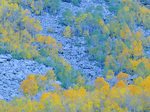 LF 159.  Fall aspen at dawn across a talus slope of boulders in Bishop Canyon, Eastern Sierra, CA