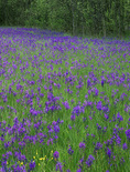 LF 212.  Camas blooms in a marsh of rural Lane County, OR