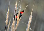 SF 18.  Red winged blackbird peaking behind a rush of cattails in the Painted Hills, John Day Fossil Beds National Monument, OR