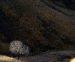 MF 101.  A buckeye tree catches and isolates the last light of day within a ravine in Sonoma County, CA