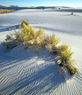 MF 353.  A grouping of sage at sunset at White Sands National Monument, NM