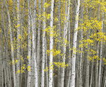 MF 400.  A grove of aspens near Red Mountain Pass, CO