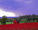 MF 407.  A field of red clover in the path of an upproaching storm.  Washingtion County, Willamette Valley, OR