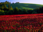 LF 126.  A field of burgundy clover lies beneath a hilltop vineyard at sunrise in Yamhill County, Oregon