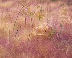 MF 169.  Wild grasses at late summer surround Mono Lake, CA