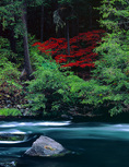 LF 420.  Blood red vine maple within the Umpqua National Forest, OR