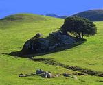 MF 488.  Oak and rocks in western Marin County, CA in early winter.