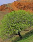 MF 495.  A California buckeye tree at mid winter.  Sonoma County, CA
