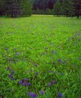 LF 502.  Spring wildflowers in a meadow of the Wallowa-Whitman National Forest, OR