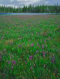 LF 220.  Spring wildflowers surround the marshland around Grande Ronde Lake, Wallowa-Whitman National Forest, OR