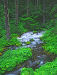 LF 54.  The Roaring River at spring cuts through the Willamette National Forest, OR