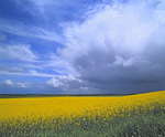 MF 202.  Canola as far as the eye can see under an approaching storm.  Polk County, OR