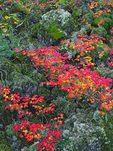 LF 154.  The full color spectrum of fall vine maple on display in the Three Sisters Wilderness, OR