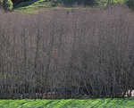 MF 484.  A stand of winter alders fronts a stream in western Marin County, CA