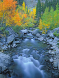 LF 157.  Fall color among the aspen on Bishop Creek.  Eastern Sierra, CA