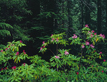 LF 414.  Wild rhododendrons deep in the Willamette National Forest, OR
