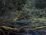 LF 435.  Newly formed maple leaves stretch accross a pond deep in the Willamette National Forest, OR