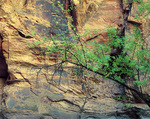MF 254.  A fall cottwood in the Virgin River canyon. Zion National Park, UT