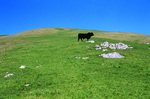 SF 903.  A bull poses on the slopes of Chileno Valley, Western Marin County, CA