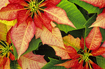  SF 2007.  Poinsettia in a greenhouse on the Central Oregon Coast.