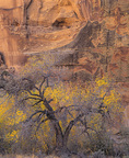 MF 269.  An Anasazi lookout above a fall cottonwood.  Escalante National Monument, UT
