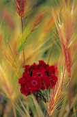 SF 1137.  A Sweet William [Dianthus barbatus] blooms within a brace of wild grasses.  Lane County, OR, USA