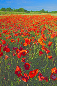 D3X 37.  A field of red poppies adjacent to a vineyard at early morning near Siena, Tuscany, Italy