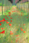 D3X 68.  Rows of wind blown red poppies separated by young trees in a commercial nursery in the Tuscan countryside near Corazzano. Tuscany, Italy