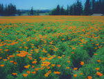 LF 177 PI.  A field of cultivated California Poppies at late spring.  Marion County, Willamette Valley, OR