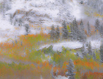 LF 256 PI.  A rare, early fall snow storm finds aspen peaking in color.  Bishop Canyon, Eastern Sierra, CA