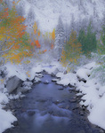 LF 255 PI.  A rare, late September snow fall finds aspen in full color.  Bishop Canyon, Eastern, Sierra, CA