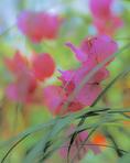 MF 455 PI.  Bougainvillea.  Bush Park greenhouse.  Salem, OR