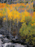 LF 281 PI.  A foregound of boulders give way to a fall aspen forest.  Bishop Canyon, Eastern Sierra, CA