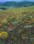 LF 345 PI.  Wild buckwheat blooming on the Zumwalt Prairie.  The Nature Conservancy.  Hells Canyon National Recreation Area, OR