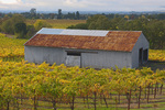 D3X 128.  A vineyard in fall color in the Chalk Hill viticultural area of Sonoma County, CA
