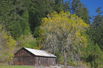D3X 122.  A chestnut tree and barn at mid fall near the mouth of the Russian River.  Sonoma County, CA