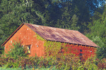D3X 125.  An old metal shed overtaken by vines.  Dry Creek Valley, Sonoma County, CA