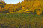 D3X 129.  Sunrise over a Dry Creek Valley vineyard set against towering oaks and redwoods.  Sonoma County, CA