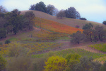 D3X 130 PI.  A hillside vineyard on a grey morning in the Dry Creek Valley of Sonoma County, CA