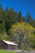 D3X 132.  A chestnut tree and barn at mid fall near the mouth of the Russian River.  Sonoma County, CA