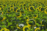 D800e 28.  A backlit field of sunflower at early morning light.  Provence, France