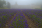 D800e 1 PI.  Abbaye de Senanque with lavender in a lifting fog. Provence, France