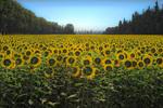 D800e 25 PI.  A backlit field of sunflowers near the village of St. Remy.  Provence, France.