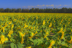 D800e 27 PI.  A sidelit field of sunflower at early morning.  Provence, France