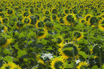D800e 28 PI.  A backlit field of sunflower at early morning light.  Provence, France